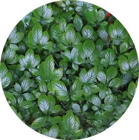 Джиаогулан - целебное растение долгожителей и от сахарного диабета!