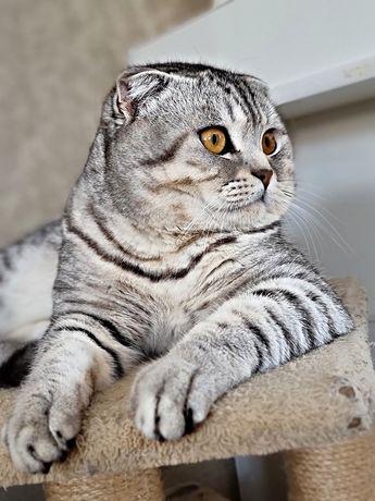 Шотланский кот для вязки