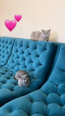 Котята породистые британцы! 3 котенка ( 1 девочка и 2 мальчика)