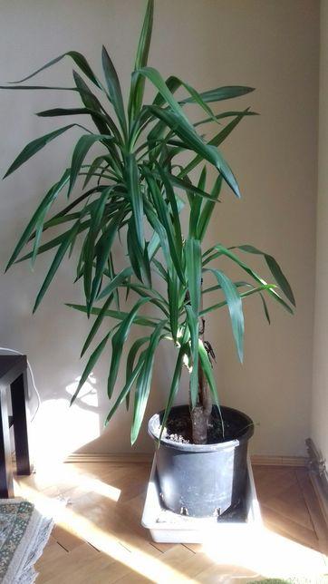 Vand planta Yucca