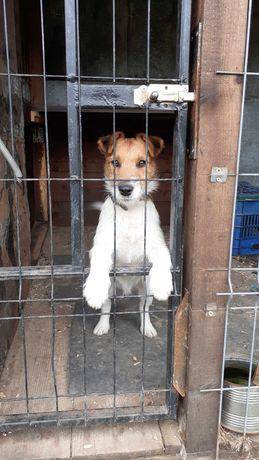 Vand cățel Jack russel terrier