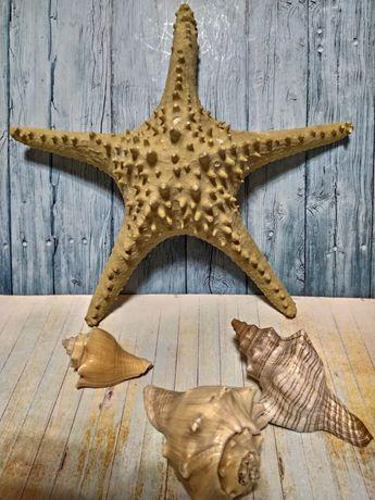 Морская звезда натуральная. Для декора