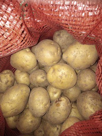 Дачный картофель
