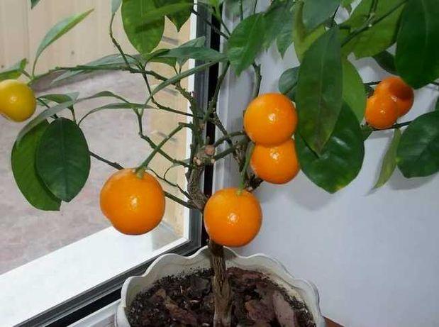 Фруктовые мини-деревья Экодар набор для выращивания