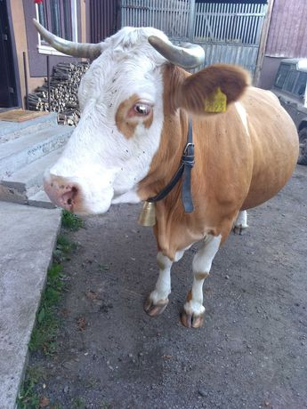 Vacă bălțată românească