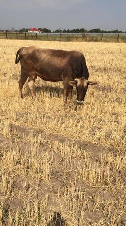 Алатауская корова