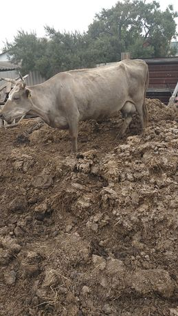 Корова молочного направления