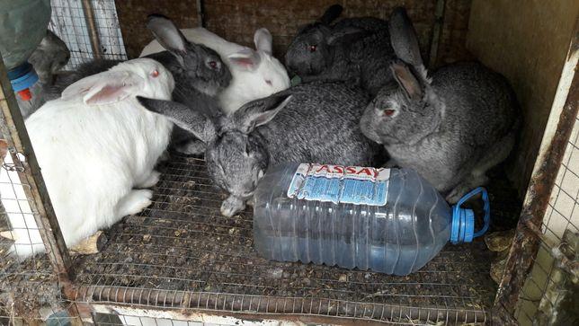 Кролик мясной, чистым весом до 4х кг!
