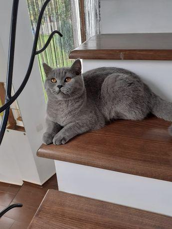Pisica British de un an de zile foarte cuminte și deșteaptă face la li