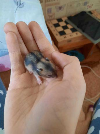 1 hamster adult și 6 hamsteri pui