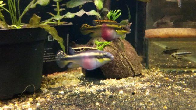 Пельвикахромис пульхер (Pelvicachromis pulcher) попугайчик