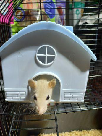 Продаются декоративные крыски