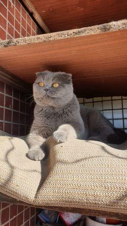 вязка вислоухого кота