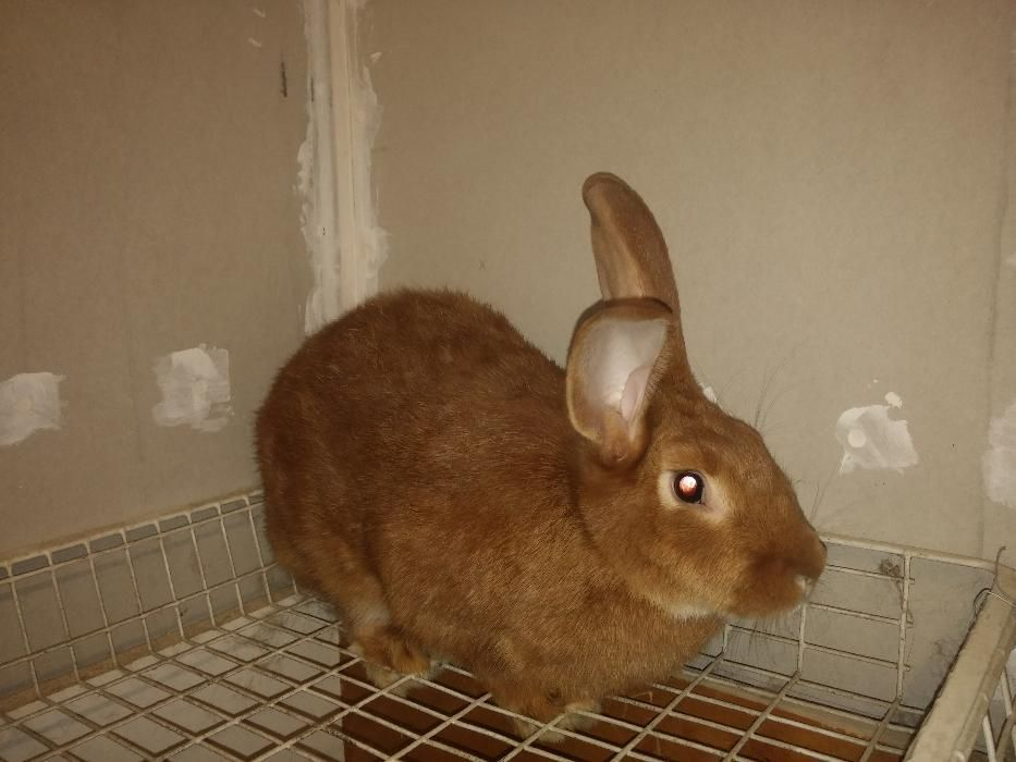 продавам зайци за разплод - цена по договаряне