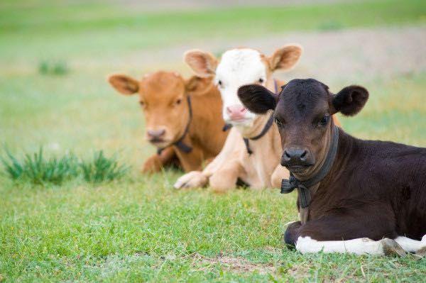Бычки телята для мясной продукции