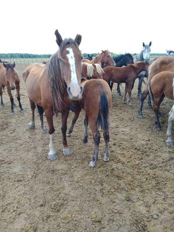 Кылынды бие ! Лошадь с жеребёнкам