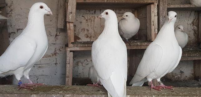 Vând porumbei voiajori albi