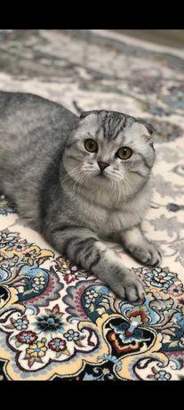 Вязка вислоухого шотландского кота