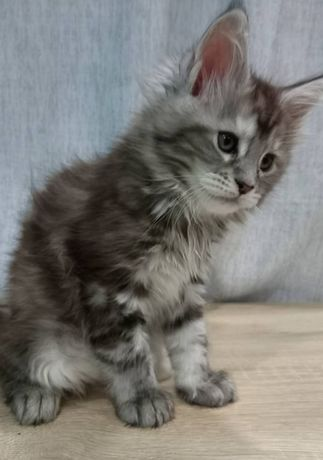 Предлагаются к продаже котята,мейн куны