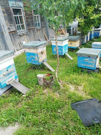Продам пчелосемьи с улетарой