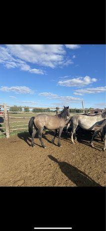 Продаются лошади тай