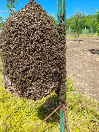 Пчели в тръвни .