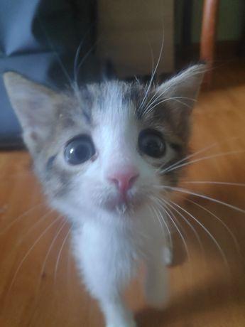 отдам котенка, возраст месяц-два, девочка
