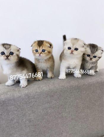 Шотландские котята всех окрасов