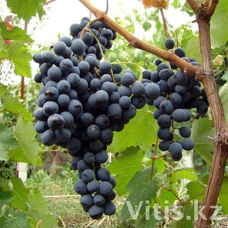 Саженцы винограда винных (технических) сортов.