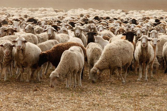 Овцы романовские дорпер все чисто кровные с доставкой