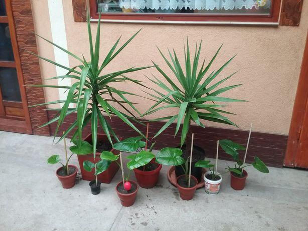 Vând plante Yucca