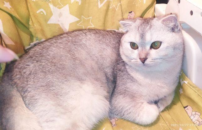 Шиншиловый тикированый кот. С документами