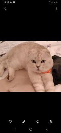 Продам кота шотландский вислоухий,  окрас  белый шиншила