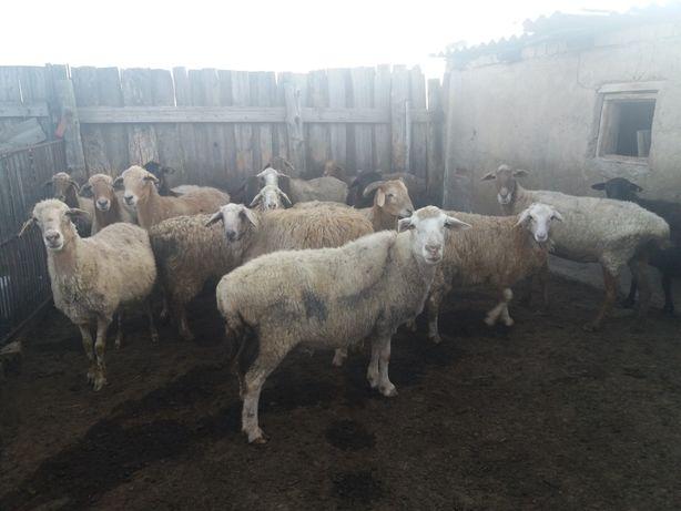 продам овец оптом и в розницу