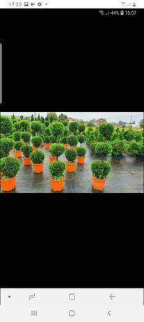 Copacii ornamentale