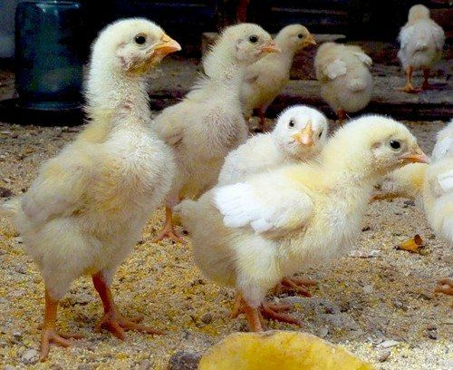 Продам цыплят несушек