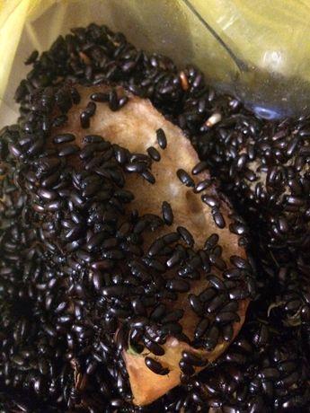 жук Знахарь, личинки