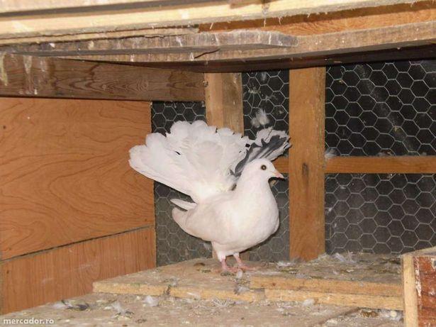 Porumbei Pavă / Încălţaţi frumoşi (