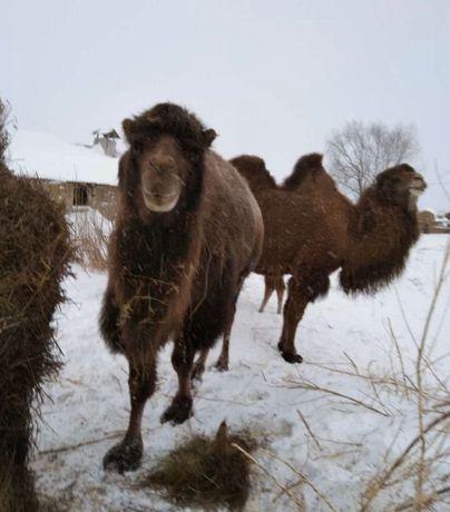 Верблюды разных мастей, дружелюбные (Доставка по Казахстану)