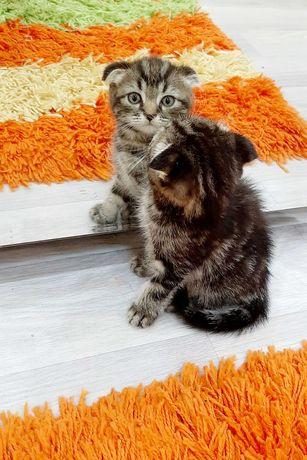 Продам шотландских Скоттиш Фолд вислоухих котят