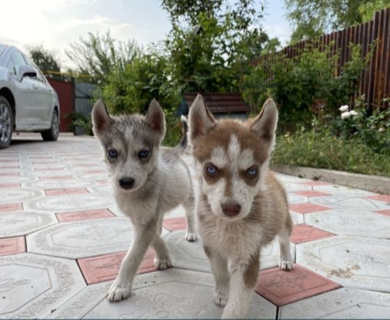 Срочно продам щенков хаски