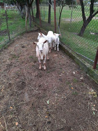 Vand capre 2 capre si un țap tanar
