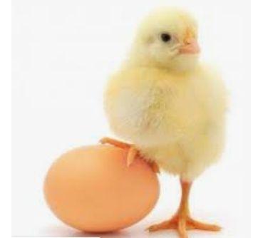 Яйцо инкубационные Рос308