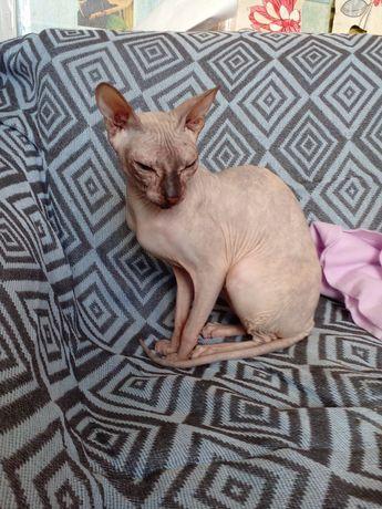 Продам кошку породы свикс