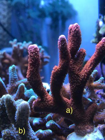 Corali acvariu marin