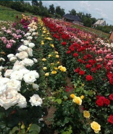 Розы кустовые, плетистая