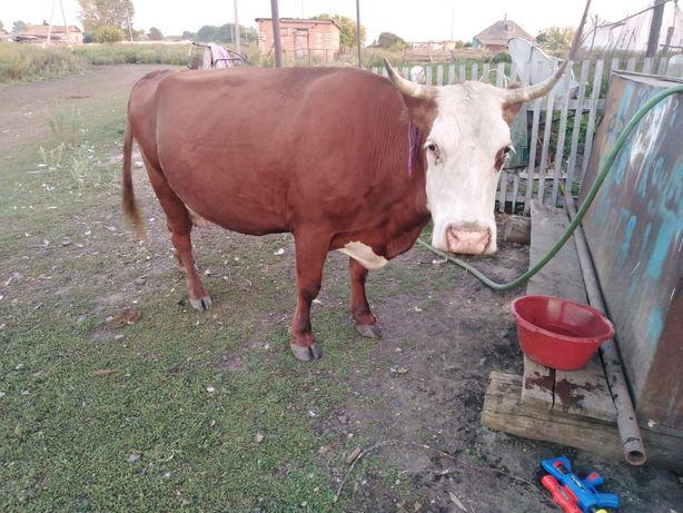 Корова дойная,стельная