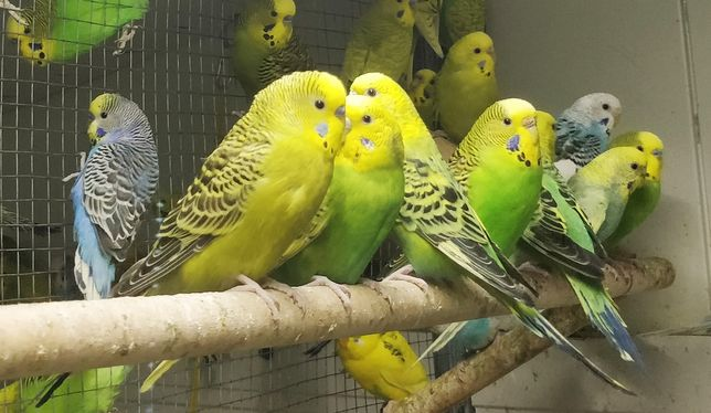 Pereche de papagali peruși, tineri și colivie