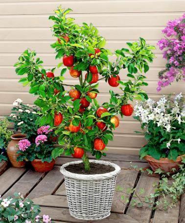 Vand pomi fructiferi pitici