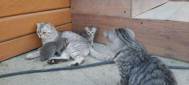 Кошка кругло голове бенгалский